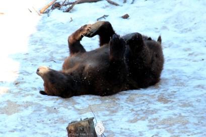 playful bear