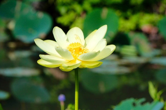 An American lotus photographed at Lotus Park on July 3, 2015. [John-Henry Doucette/The Princess Anne Independent News]