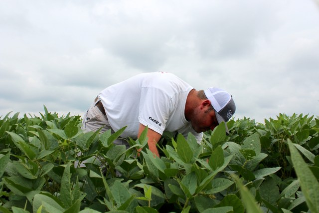 "Farmer Heath Cutrell of Heath Cutrell Farms in Chesapeake inspects soybean plants in a test plot during a field day organized by the Virginia Cooperative Extension in Virginia Beach. Cutrell grows 1,800 acres of the plant. Cutrell said the field day ""gives a kind of insight of what's going on at this point of growth, and it gives us a game plan for next year."" [John-Henry Doucette/The Princess Anne Independent News]"