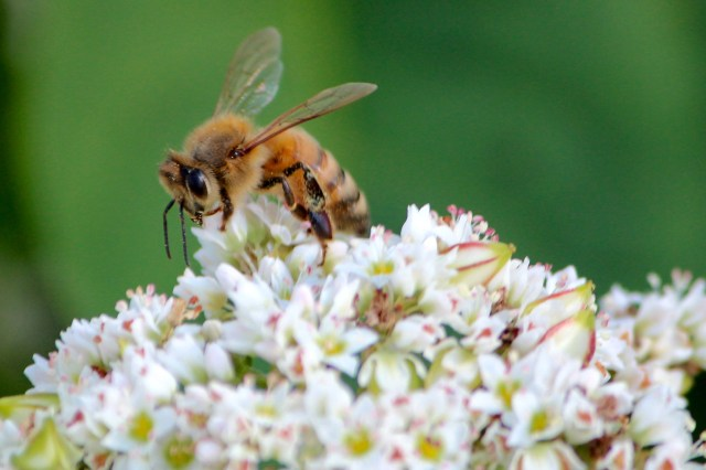 A honeybee visits buckwheat at Wilson's farm earlier this summer. These bees were joined by mason bees this spring. [John-Henry Doucette/The Princess Anne Independent News]