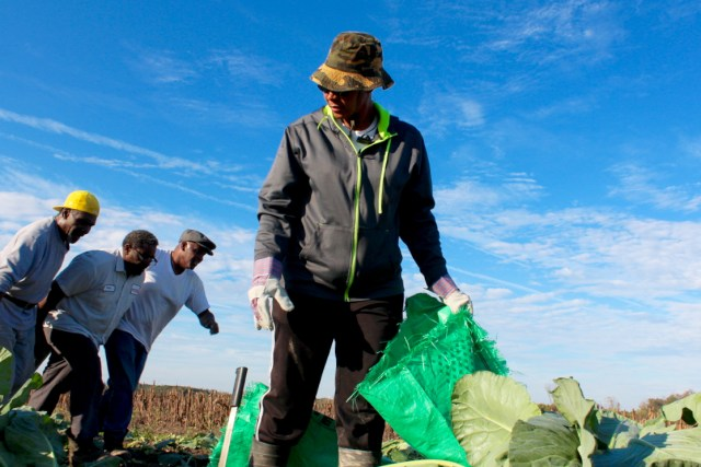 The Apostle Sharon Wallace of Tidwater Gleaning organized the gleaning event at Scott Morris Farm, at work while other volunteers pull a load of collards. [John-Henry Doucette/The Princess Anne Independent News]