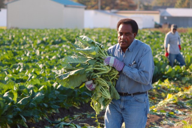 Norfolk's Frank Wilson, of the outreach ministry at New Life Christian Center, carries collards across the field. [John-Henry Doucette/The Princess Anne Independent News]