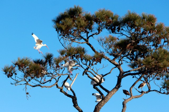 A white ibis lands in a crowded tree at the refuge. [John-Henry Doucette/The Princes Anne Independent News]