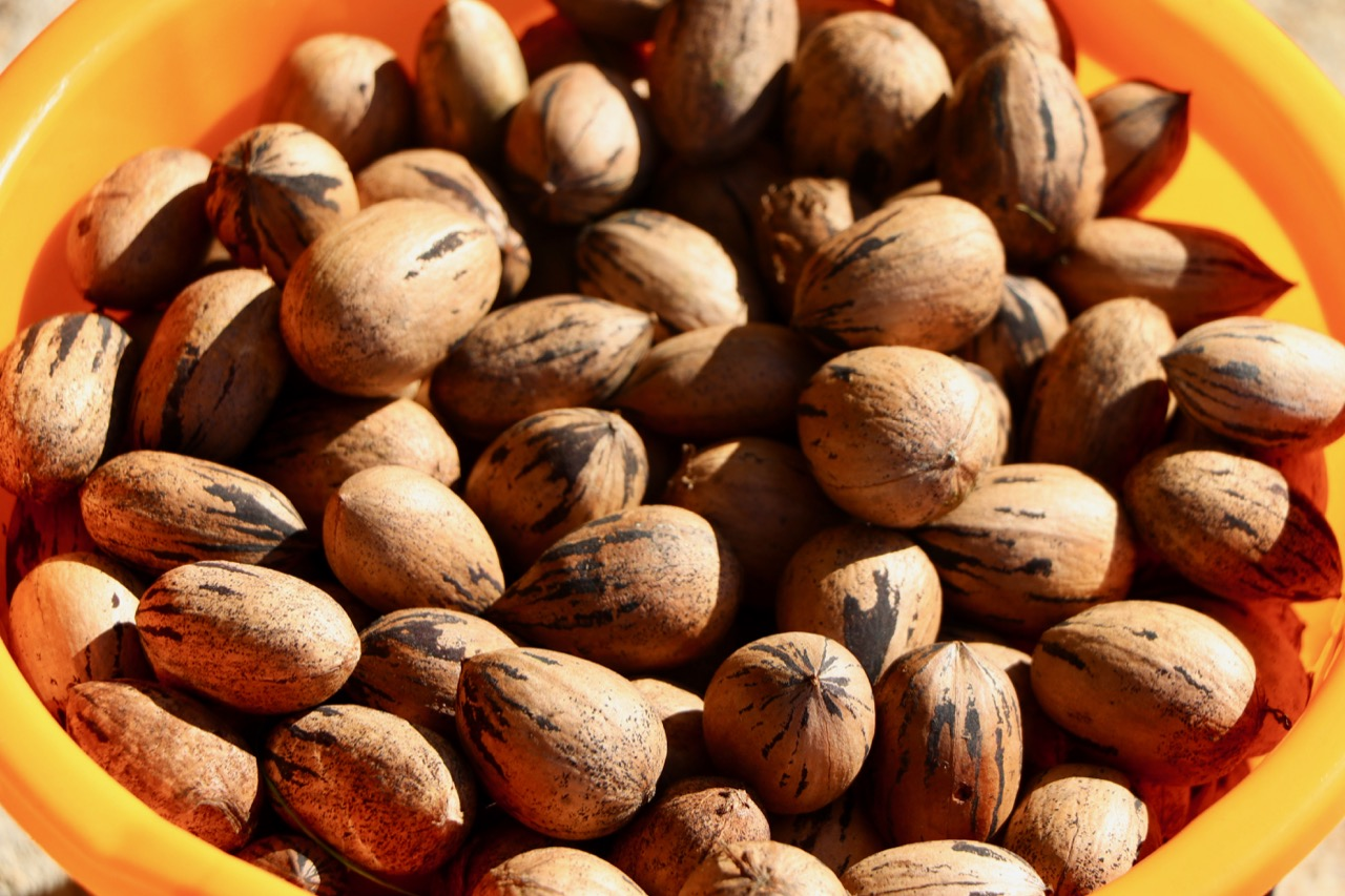 You-pick pecans now available from the Market at Land of Promise Farms in Blackwater