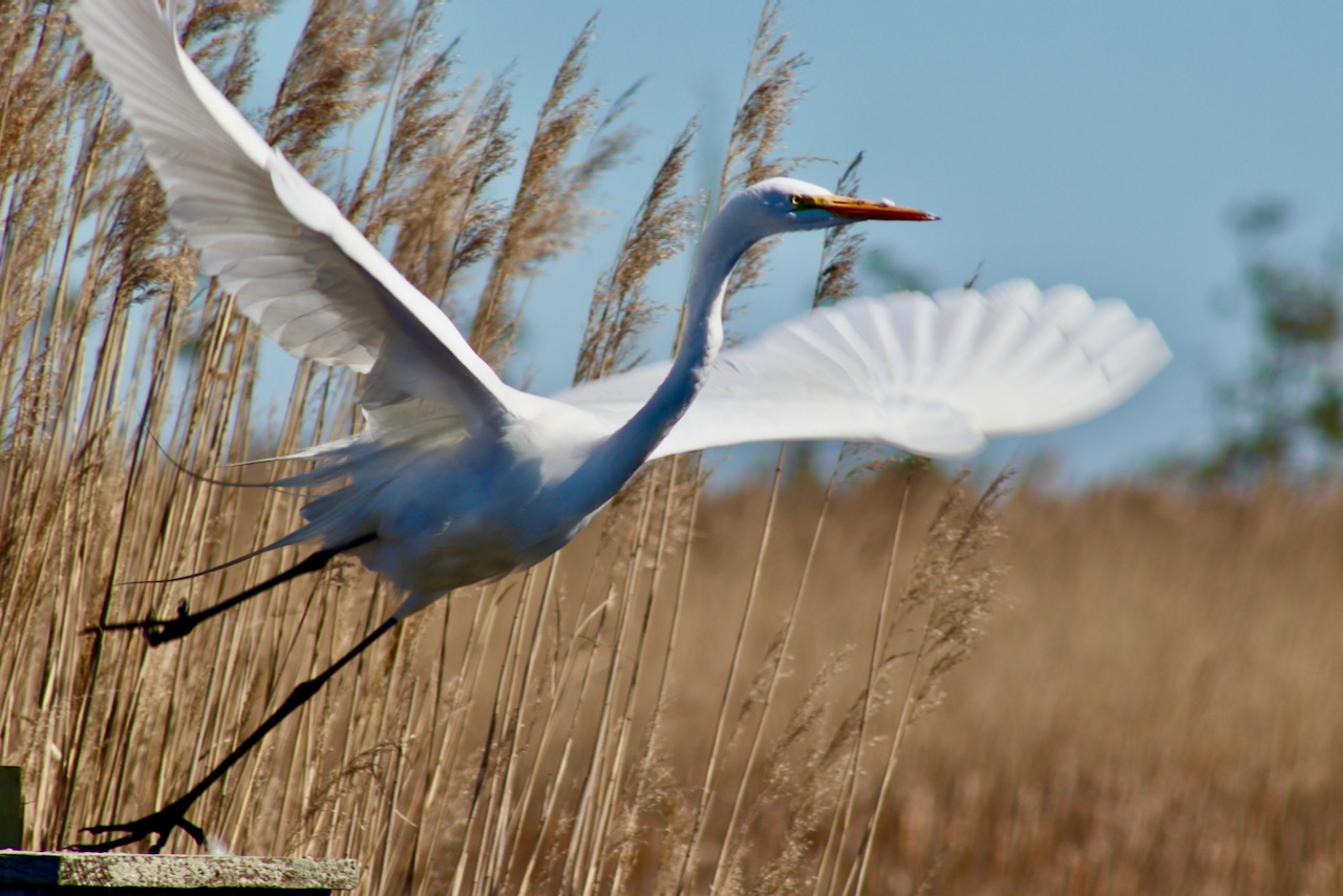 A family visiting Sandbridge helped an egret at Back Bay refuge — though officials urge caution, calls to experienced rescuers