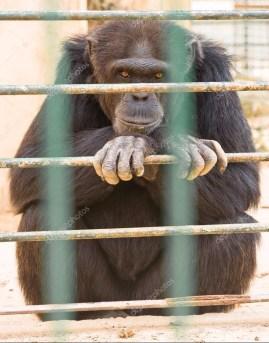 gorilla-in-zoo