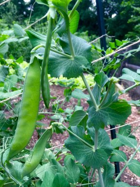Perfect peas! - Morgan Nelson, Photo