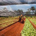 Kako je kubanska poljoprivreda prešla sa industrijske na samoodrživu (VIDEO)