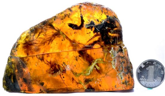 Tree resin trapped this baby bird 99 million years ago.   Read more: http://www.smithsonianmag.com/smart-news/99-million-year-old-bird-coexisted-dinosaurs-180963615/#XSYtxQaBJmUxtd0x.99 Give the gift of Smithsonian magazine for only $12! http://bit.ly/1cGUiGv Follow us: @SmithsonianMag on Twitter