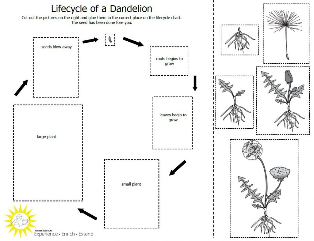 Worksheet Life Cycle Of Plant Free Grade Diagram For