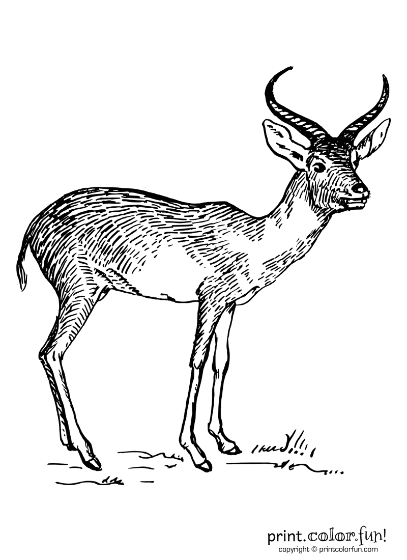 Antelope coloring page Print Color Fun