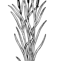 Cattails plant
