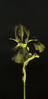 Daniela Rizzi, Too Much Going On II - Yellow Iris, Silkscreen, 2014