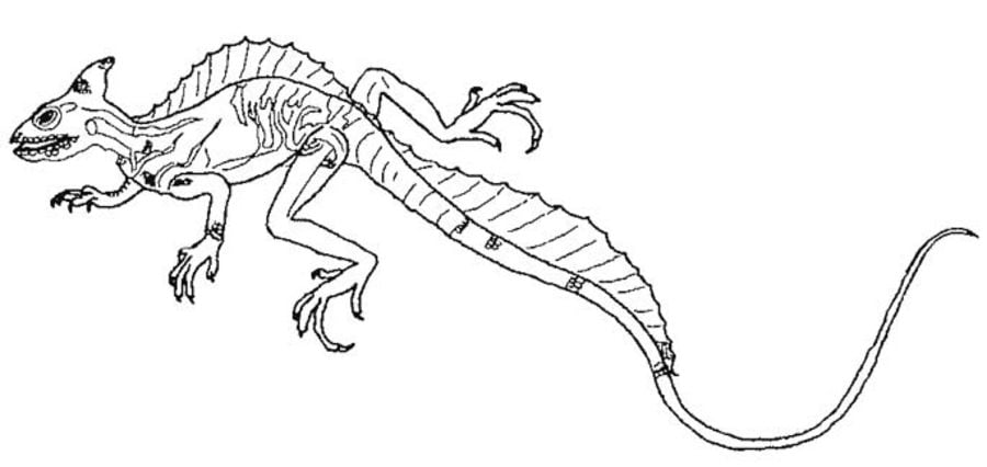 Coloring pages: Coloring pages: Basilisk lizard, printable