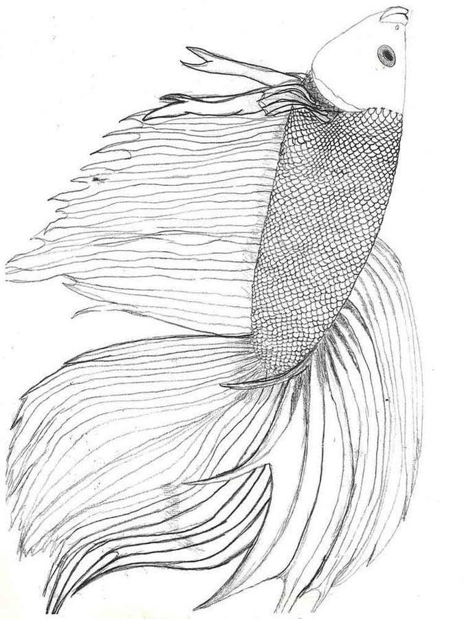 Ausmalbilder Ausmalbilder Kampffische Zum Ausdrucken