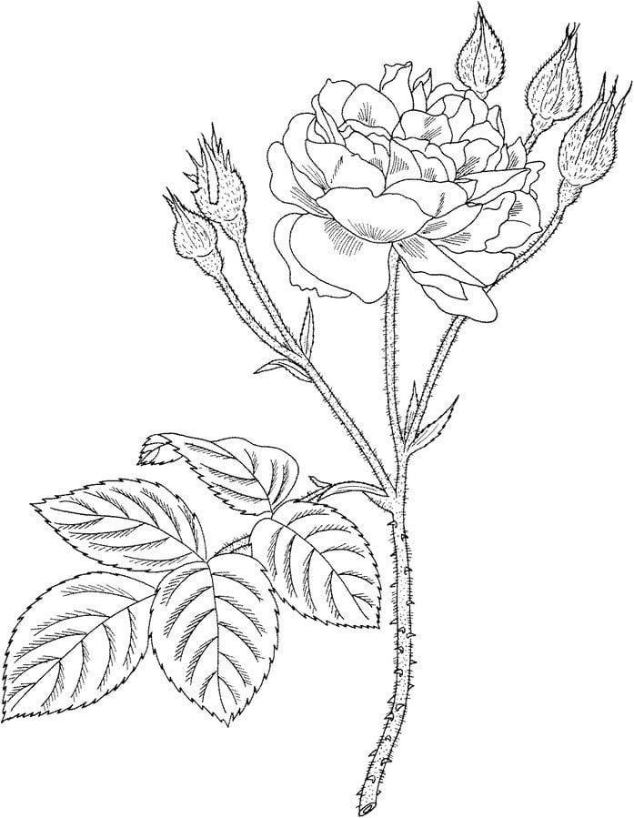 ausmalbilder ausmalbilder rosen zum ausdrucken