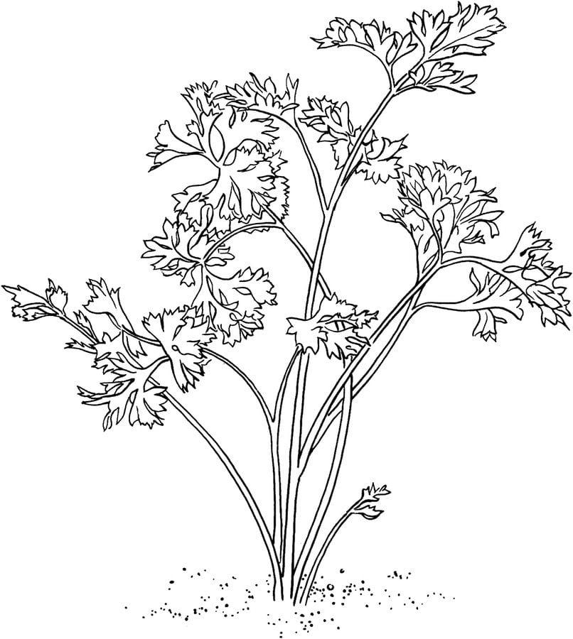 Ausmalbilder: Petersilie Ausmalbilder Gemüse Pflanzen