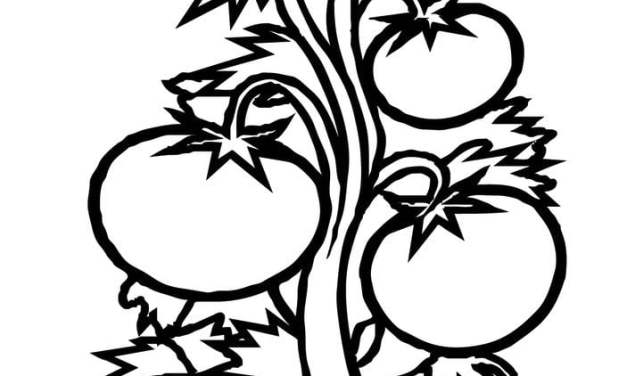 Coloring pages: Tomato