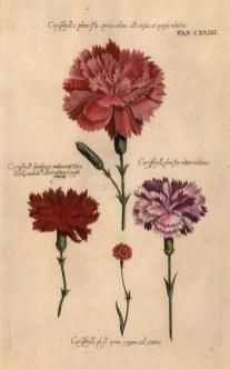 Caryphyllius pleno, 3 variations and Caryphyllius dimidia