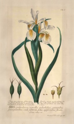 "Ehret: Iris. 1773. An original hand coloured antique copper engraving. 11"" x 18"". [FLORAp2260]"