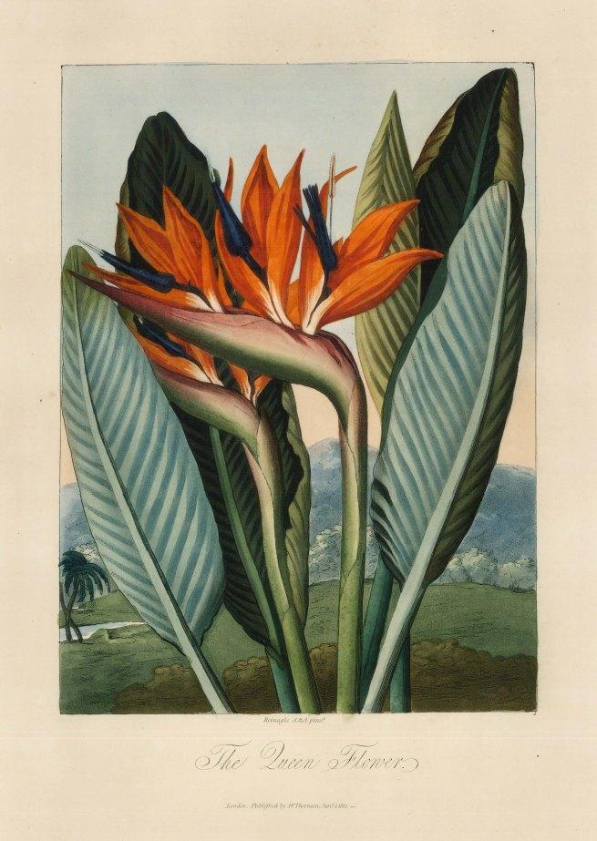 FLORAp2606 - The Queen's Flower, Dr Robert Thornton