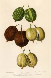 Fitch: Gooseberries. 1884. An original antique chromo-lithograph. 7 x 11 inches. [NATHISp2529]