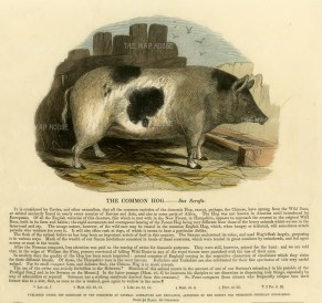 """Society for the Promotion of Christian Knowledge: The Common Hog. c1860. A hand coloured original antique wood engraving. 13"""" x 11"""". [NATHISp6882]"""