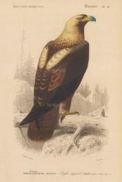 Eastern Imperial Eagle: Aqila heliaca.