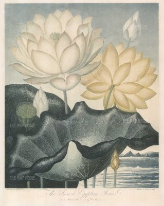 The Sacred Egyptian Bean (Lotus). Revered as the Sacred Lotus of the East, it no longer grows in Egypt.