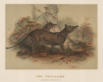 Thylacine (Tasmanian Tiger). Thylacinus cynocephalus. A pair captured near Launceston and drawn from life at the Zoological Society's Vivarium. Extinct in the wild by 1930, the last captive died in 1936..
