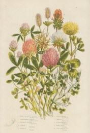 Dutch and Purple Clover with eight varieties of Trefoil.