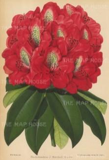 Rhododendron: J. Marshall Brooks.