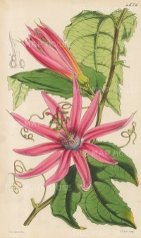 Blood-Coloured Tacsonia. After Walter Hood Fitch.