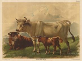 "Kunstanstalt Alb. Berger: Cow and calf. 1895. An original antique chromolithograph. 31"" x 23"". [NATHISp2321]"