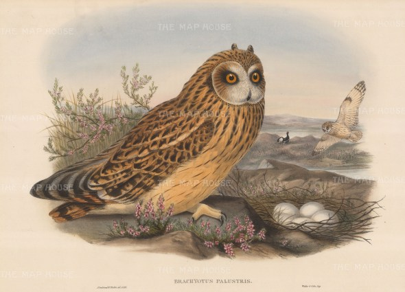 Owl: Brachyotus Palustris