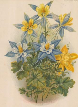 "Garden Magazine: Clematis. 1885. An original antique chromolithograph. 8"" x 12"". [FLORAp3163]"
