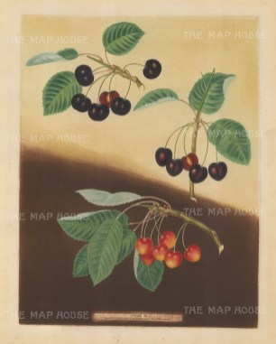 Cherries: Tradescant Cherry, Millet's Duke and Amber Heart.