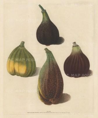 Figs: Four varieties: Brown Malta, White Marseilles Purple, Brown Naples or Italie,
