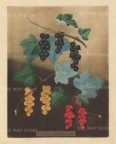 Currants: Black Currant, Dutch Red and Dutch White.