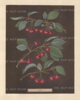 Cherries: Kentish or Flemish, English Bearer and Carnation.