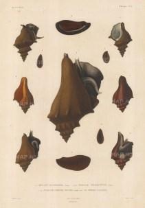 Buccin Fusiforme, Pyrule Trompette, Pyrule Chauve Souris and La Meme: Twelve examples after Vaillant.