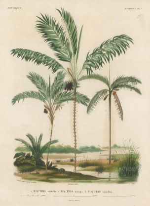 SOLD Palms (Geonoma): Bacris socialis, Bactris maraja and Bactris inundata.