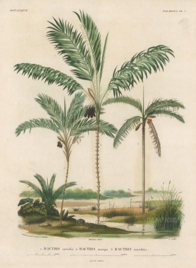 SOLD Palms (Geonoma): Bacris socialis, Bactris maraja and Bactris inundata.