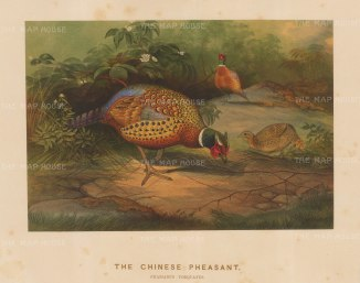 Chinese Pheasant. Phasianus Torquatus. Drawn from life at the Zoological Society's Vivarium.
