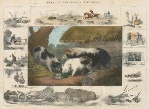 "Barfoot: Pigs. c1860. A hand coloured original antique lithograph. 13"" x 9"". [NATHISp5352]"