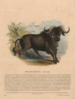Cape Buffalo with descriptive text. Founded in 1698, the SPCK is the oldest Anglican mission and publishing house of the Church of England.