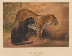 SOLD. Leopards: Felis leopardis. The Panther from Malaysia and the Leopard from Morocco. Drawn from life at the society's Vivarium.