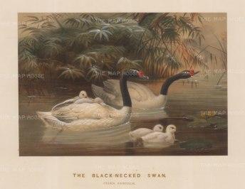 Black necked Swan. Cygnus nigricollis. Drawn from life at the Zoological Society's Vivarium