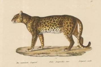 Leopard: Felis Leopardus. Male.