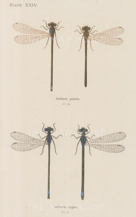 Damselflies: Scarce blue tail Ischnura pumilio and and common blue tail Ischnura elegans